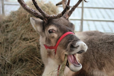 Donner the reindeer, who is visiting the Island this weekend with her friend, Blitzen – youngsters can meet them at the Christmas Grotto within Onchan Park's Winter Wonderland