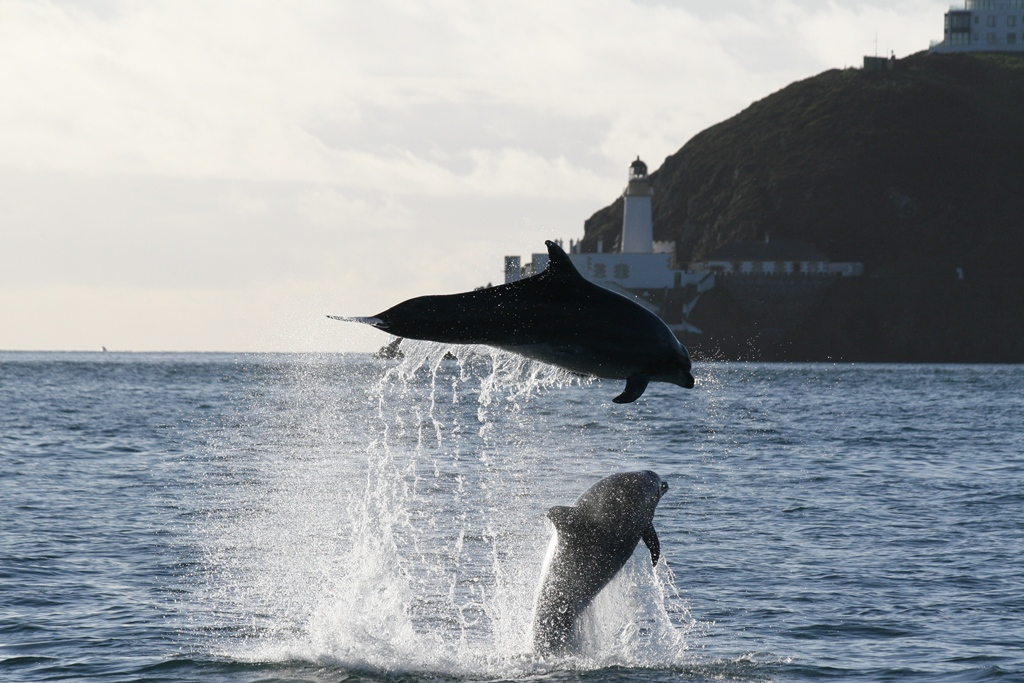 Dolphins jumping out of the water of Douglas bay Isle of Man