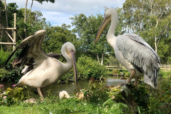 Two young pelicans from Germany have arrived as part of global breeding programme