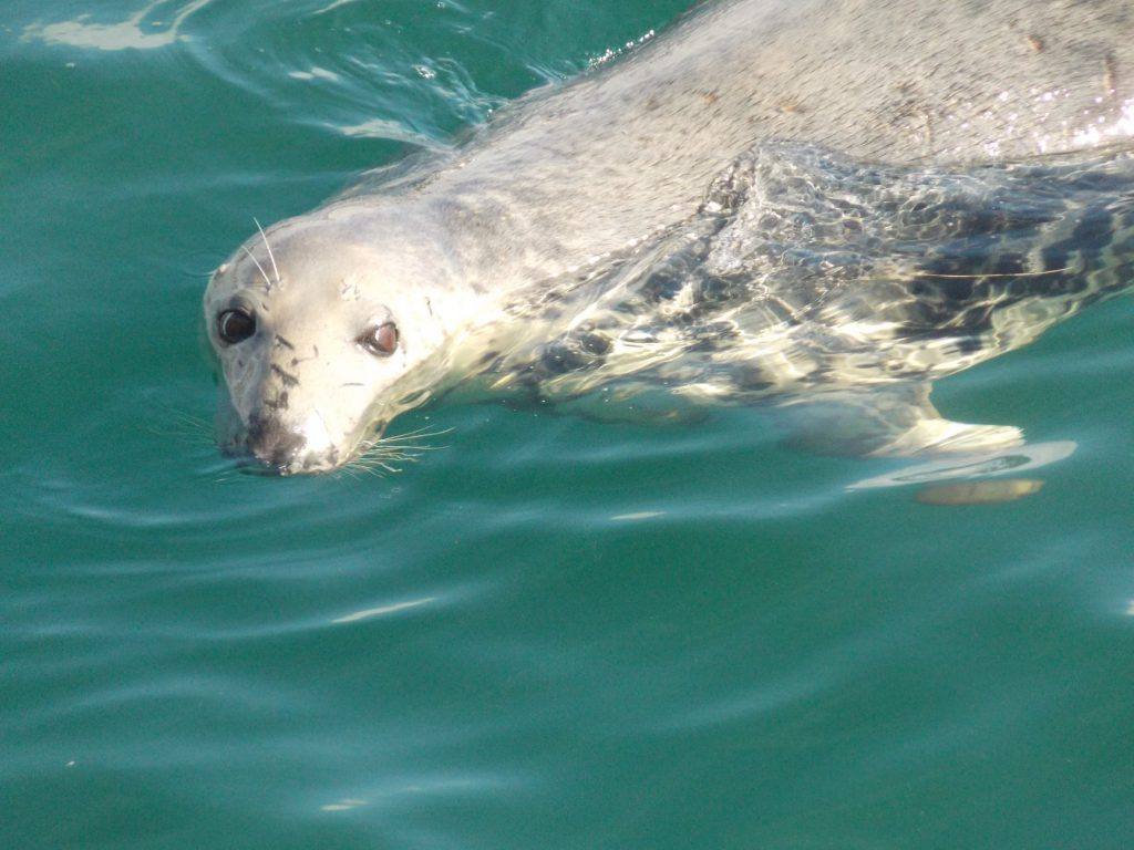 A seal in blue waters poking its head out the water