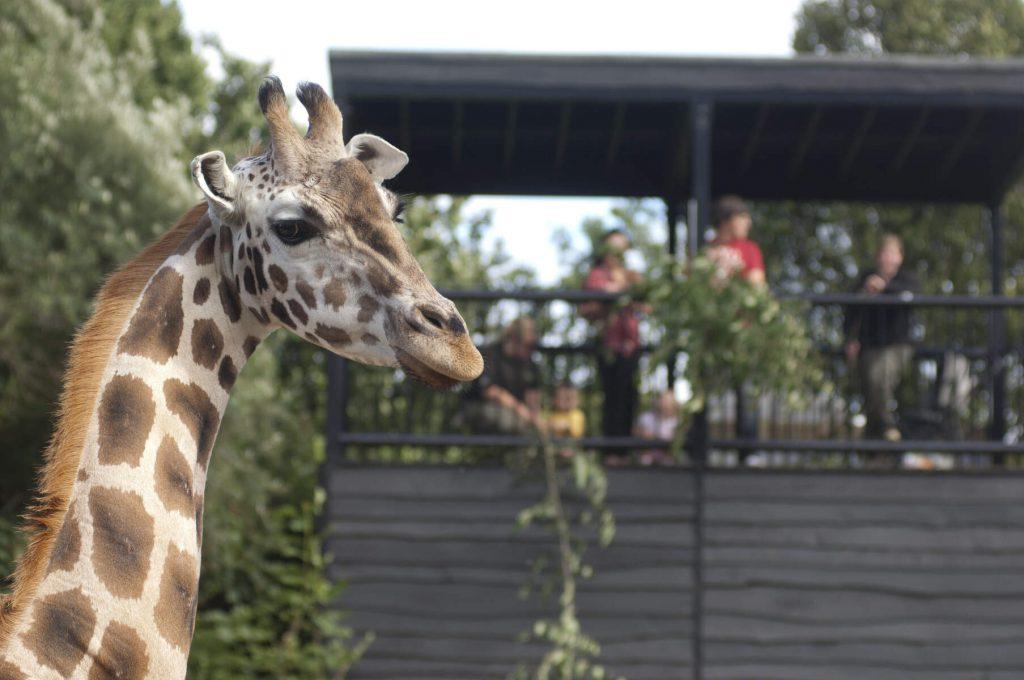 A giraffe in Belfast Zoo